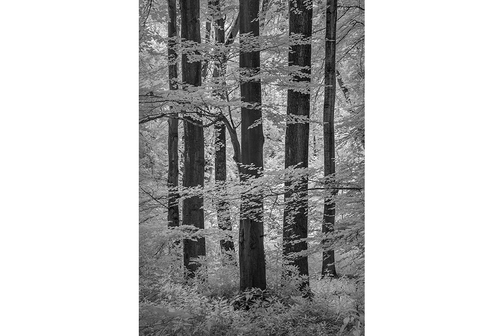 Infra red image of Beech Wood, Kent